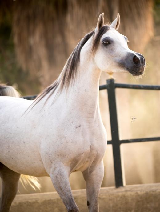 http://www.daliaarabians.com/core/image.php?src=app/media/uploads/website/29/photos/website_horses/2133/GJ_7101.jpg&width=520&height=689