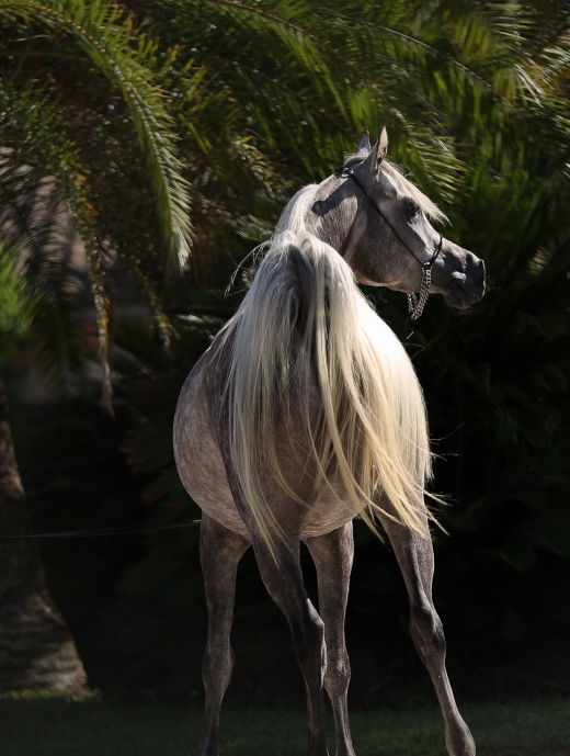 http://www.daliaarabians.com/core/image.php?src=app/media/uploads/website/29/photos/website_horses/2134/AN2I2349.jpg&width=520&height=689