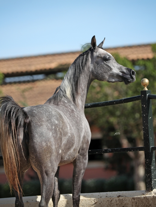 http://www.daliaarabians.com/core/image.php?src=app/media/uploads/website/29/photos/website_horses/2135/AN2I4576_copia.jpg&width=520&height=689
