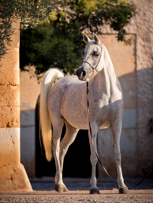 http://www.daliaarabians.com/core/image.php?src=app/media/uploads/website/29/photos/website_horses/2137/GJ_3381.jpg&width=520&height=689