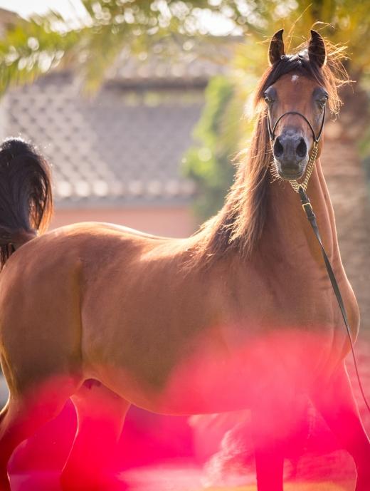 http://www.daliaarabians.com/core/image.php?src=app/media/uploads/website/29/photos/website_horses/2138/GJ_7640.jpg&width=520&height=689