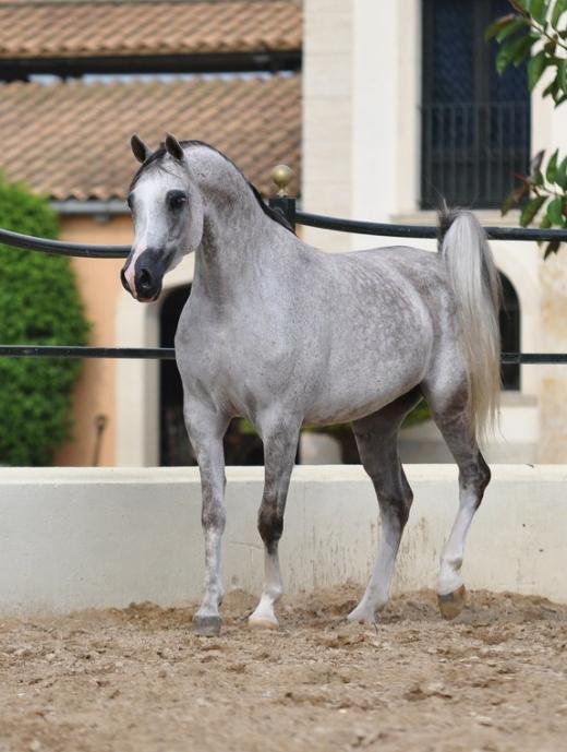 http://www.daliaarabians.com/core/image.php?src=app/media/uploads/website/29/photos/website_horses/2141/DSC_0072_Copiar_.jpg&width=520&height=689