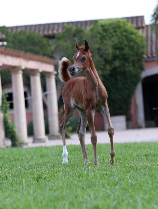http://www.daliaarabians.com/core/image.php?src=app/media/uploads/website/29/photos/website_horses/2150/AN2I3805.jpg&width=520&height=689