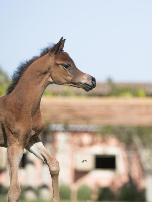 http://www.daliaarabians.com/core/image.php?src=app/media/uploads/website/29/photos/website_horses/2152/AN2I8248.jpg&width=520&height=689
