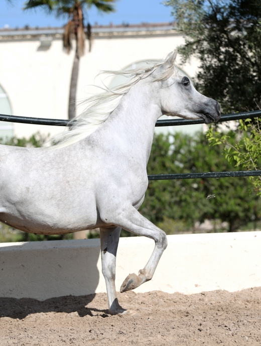 http://www.daliaarabians.com/core/image.php?src=app/media/uploads/website/29/photos/website_horses/2154/AN2I8846.jpg&width=520&height=689